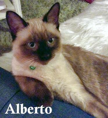 Alberto the rescue kitten with the purebred Siamese look