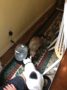 the kittens inspect the PetSafe water fulter