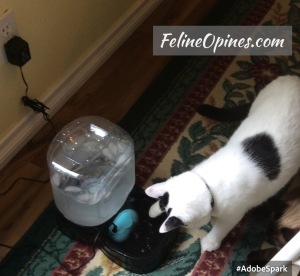 Oliver the black and white cat  explores the water bowl