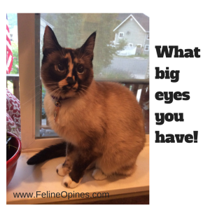 Lily the Siamese Tortie cat with the big round eyes