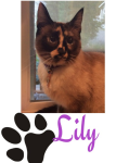 Lily the Tortie Siamese mix cat with the big round eyes