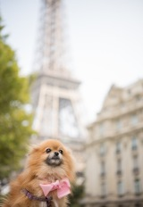 a pomeranian  in paris
