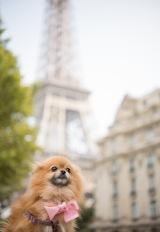 a pomeranian  in paris