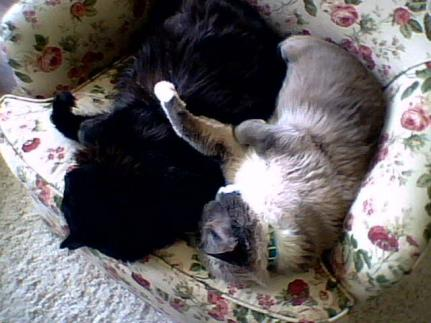 black cat, buster, siamese cat, tucker, cats sleeping on chair