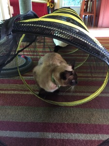 Alberto the Siamese checks out the catio extension