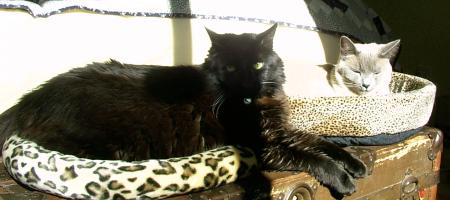 black cat, siamese cat, cat beds, sleeping in the sun