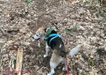 wag n woof pets beagle walking in the woods