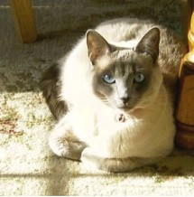 Siamese Cat in the sun
