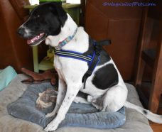 black and white dog in harness