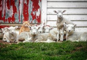 orange tabby and sheep