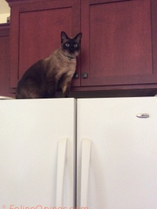 Siamese cat on top of refrigerator