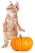 Orange Tabby Kitten and pumpkin