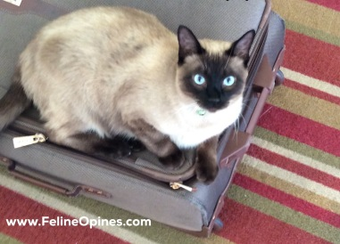 Siamese Cat Sitting on suitcase