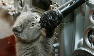 gray kitten talking into a microphone