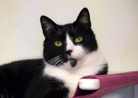 black and white shelter cat waiting for a forever home