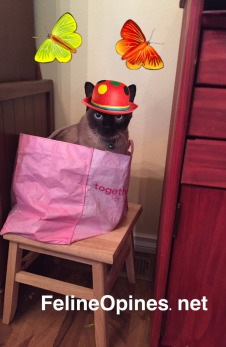 Siamese cat in bag wearing party hat