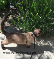 Siamese ca walking on leash in the garden