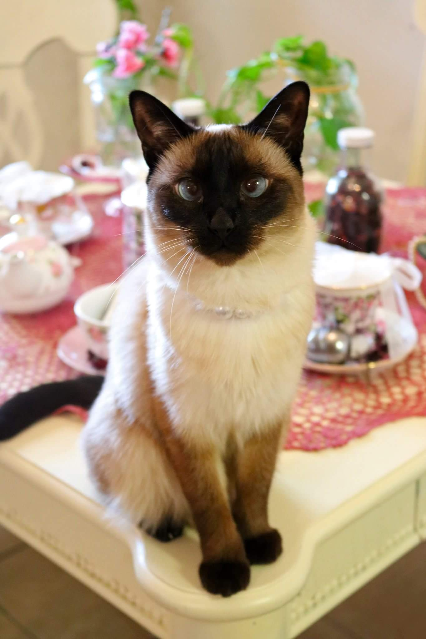 Siamese on tea table wearing pearls
