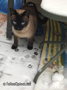 Siamese cat in the snow