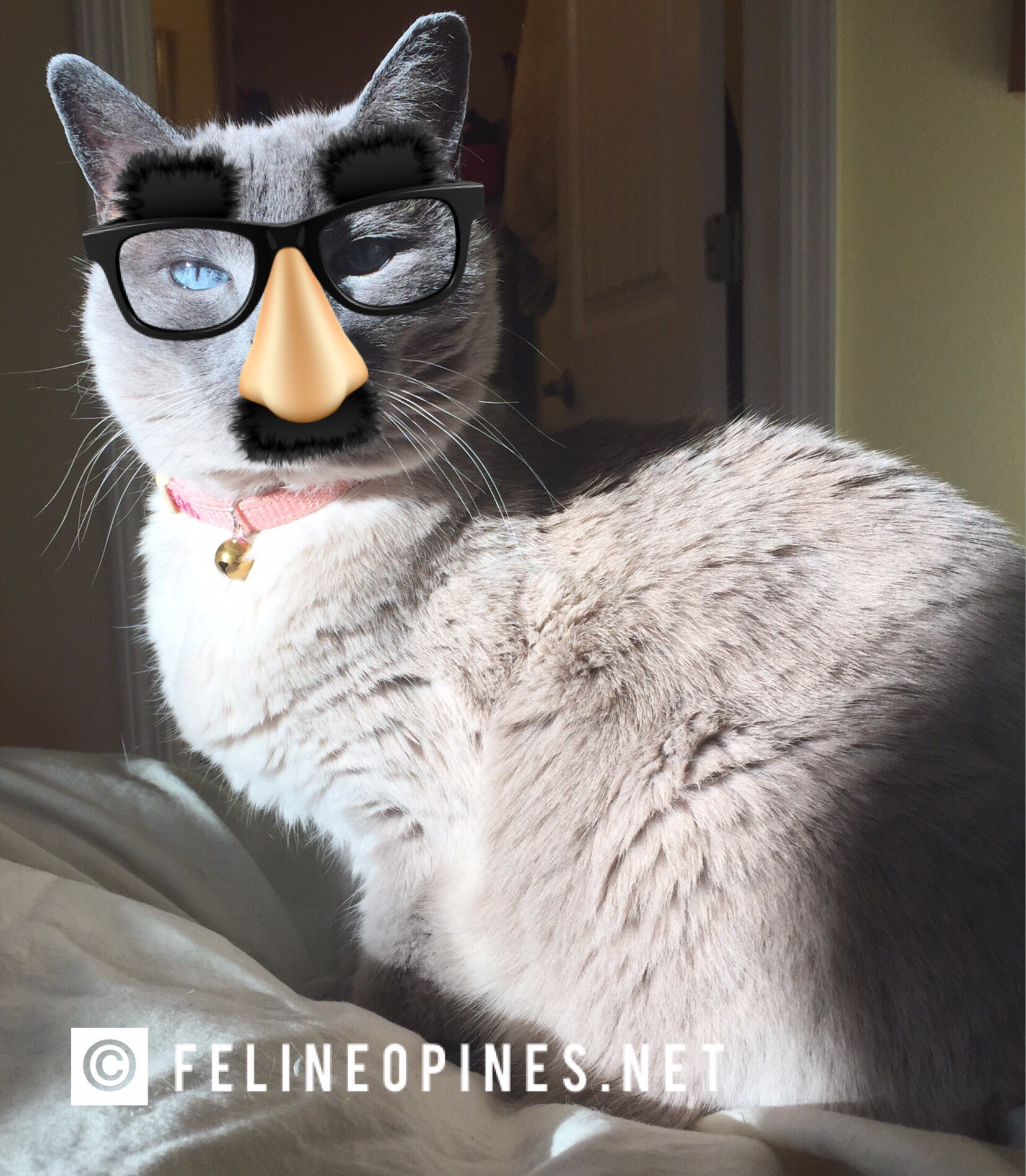 Siamese cat Jasmine in fake nose and glasses