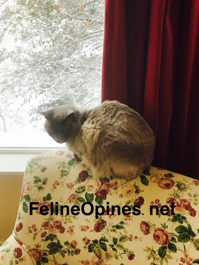 Siamese cat sitting oi chair in front of widow in winter