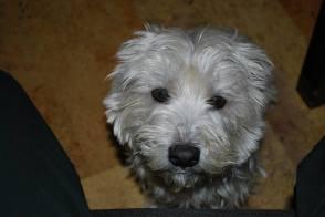 cute white terrier