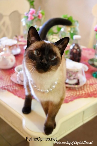 Navi the Siamese cat wearing pearls standing on a table