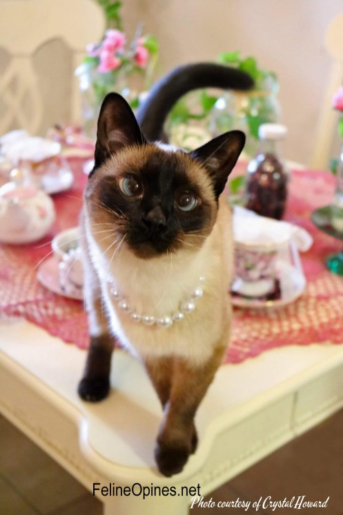 Siamese cat on tea taBLE