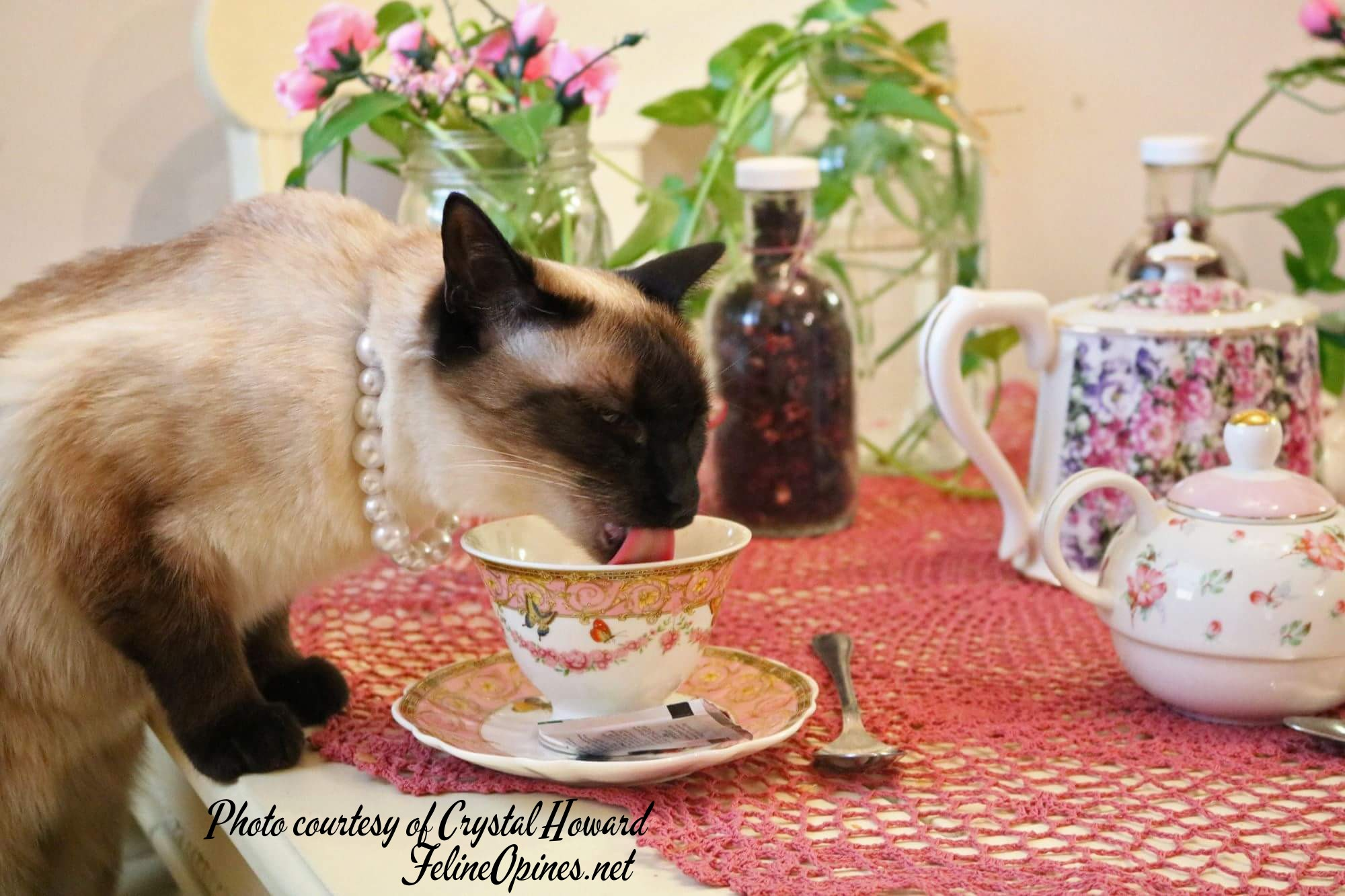 Siamese cat drinking tea