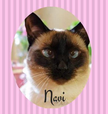 Siamese cat Navi