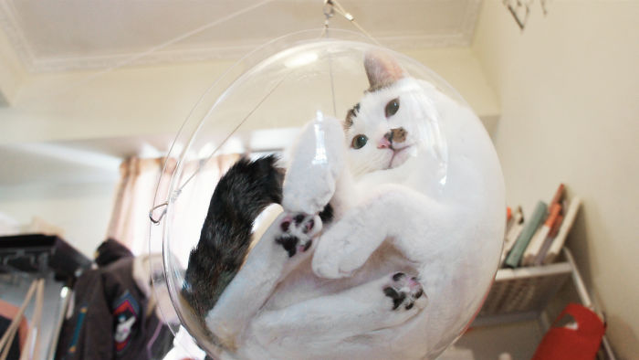 black and white cat in clear feline bubble chair