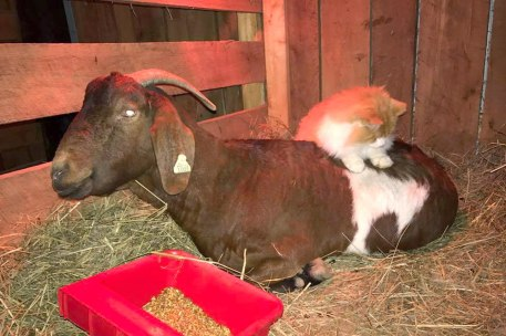 orange and white cat massages goat giving birth