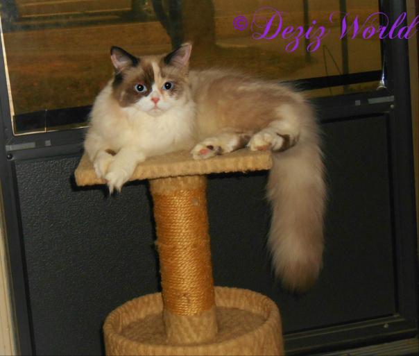 ragdoll service cat