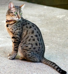 Egeyptian Mau Cat