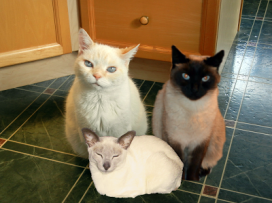 two siamese and a white cat