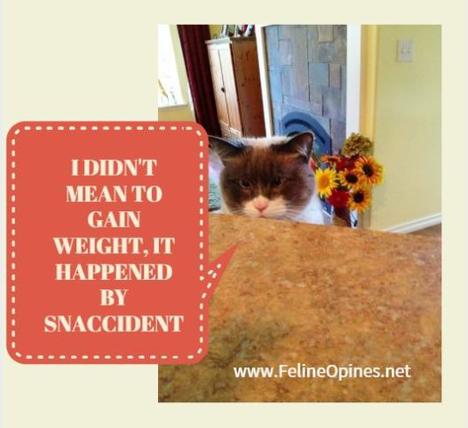 Siamese cat at the kitchen counter talking about gaining weight