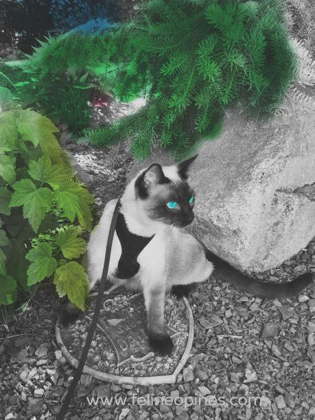 color pop photo of siamese cat in grden