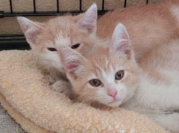 orange tabby brothers