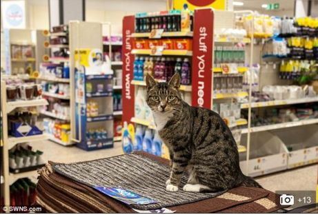 British tabby cat hangs out in Wilco store