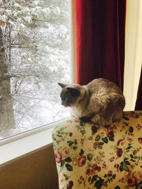 Siamese cat sitting on floral chair by red curtains looking out the window