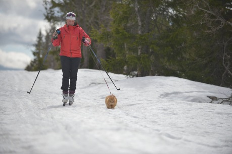 orange cat skiing with his human