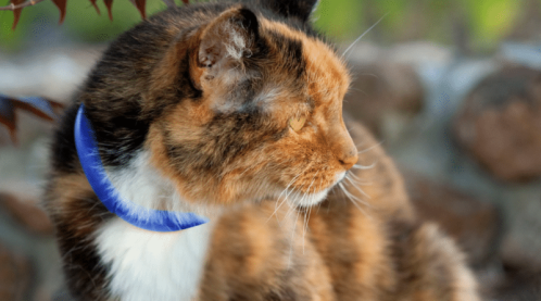 calico cat with scollar that tracks cat, health and much more