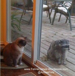 siamese cat staring at a raccoon through the glass door