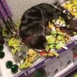 tabby cat in store on a catnip bender