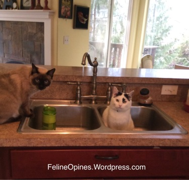 a siamese cat and black and white cat sitting in a sink