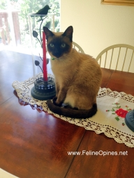 Siamese cat sitting on dining room table