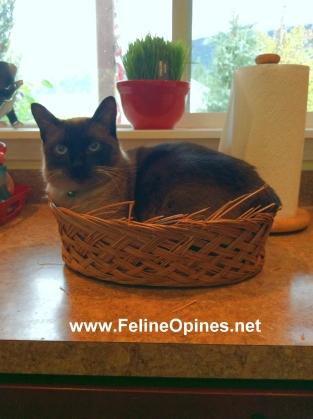 Siamese Cat in a baskekt