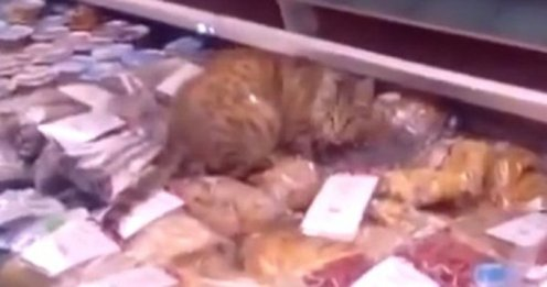 cat sneaks into store and eats 1000.00 worth of seafood