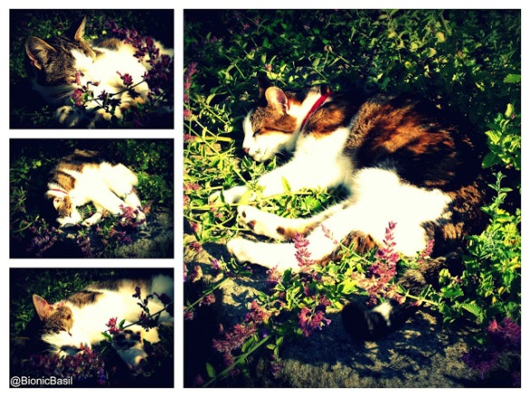 Basil Snoozing In Catmint @BionicBasil