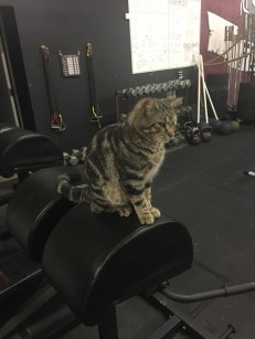 gray tabby works at gym